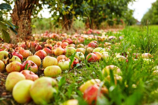 Если среди упавших яблок уже появились красивые крупные, значит - они готовы для сбора.