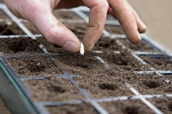 Эхинацея легко размножается семенами