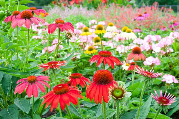 Яркие, очень декоративные, разнообразные по цвету, немного похожие на ромашки