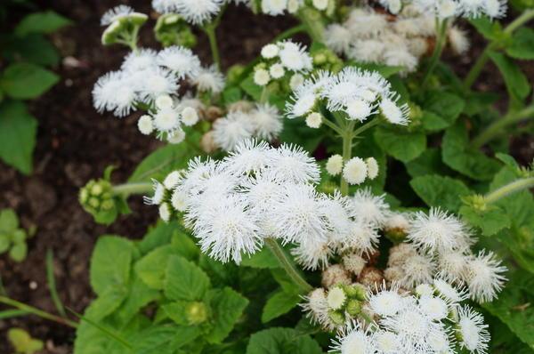 Белые цветы агератума