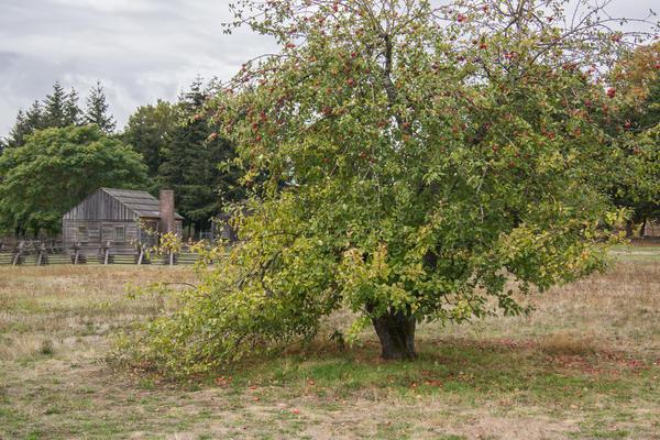 Порыв ветра, ливень, гром и страшный треск в саду - и пол-яблони на земле