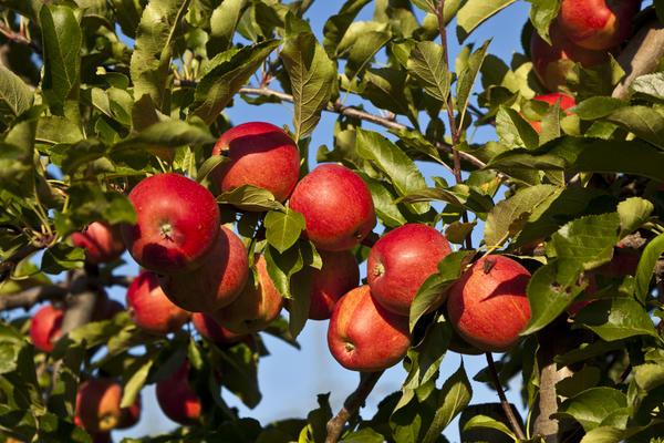 Яблоня, безусловно, главное дерево русского сада