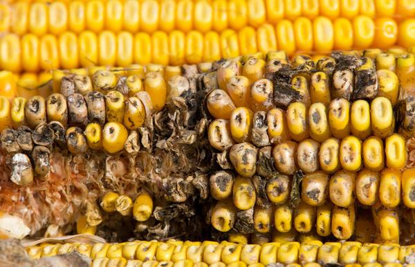 Плесневелая кукуруза