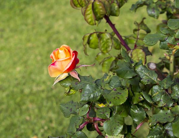 Роза, поражённая чёрной пятнистостью