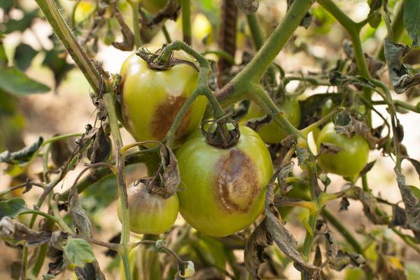 Фитофтороз томатов. Азоксистробин поможет справиться с этой напастью