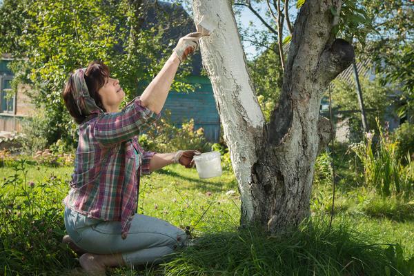 Побелка деревьев необходима осенью