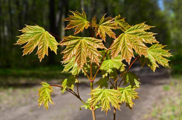 Листья клена платановидного