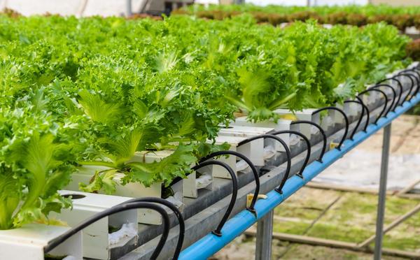 Гидропоника - способ выращивания растений на искусственных средах