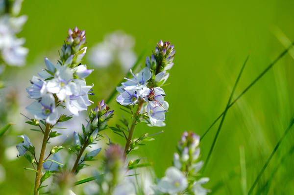 Вероника цветет