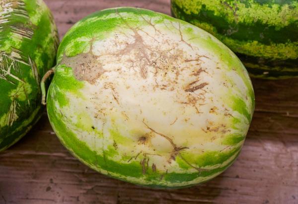 Качественные плоды не должны иметь никаких повреждений: вмятин, царапин, солнечных ожогов, трещин и т.д.