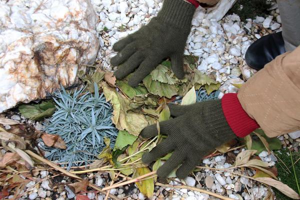Альпийские растения больше боятся не мороза, а влаги