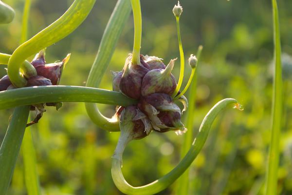 Вместо соцветий на многоярусном луке образуются воздушные луковки
