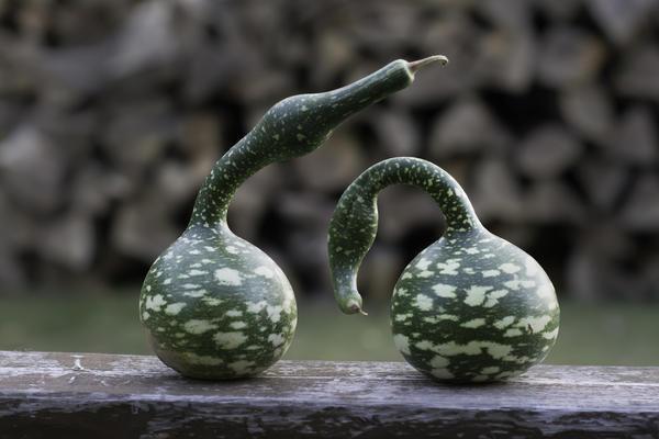 Необычная тыква - лагенария