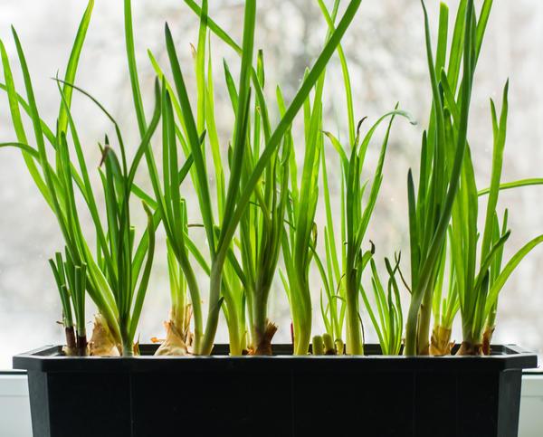 Как вырастить вкусный лук на подоконнике