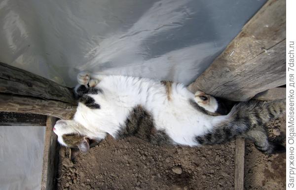 кот спит на грядке в парнике (вид сверху)