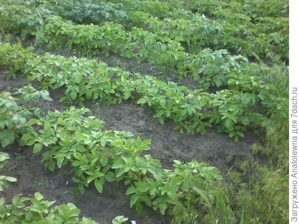 Растёт картошка, недели через 2 будем пытаться подкапывать. Сажали сорокодневку, хочется посмотреть, как уродит.