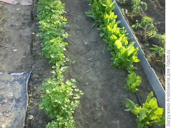 Это, вдоль дорожки между помидорами растёт зелень - петрушка и щавель. Щавель уже на зиму закатала несколько баночек. После последних дождей ещё соберу. А вот укроп никак не растёт.