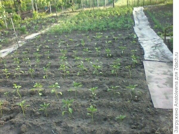 Здесь высадила рассаду помидор, баклажан и сладкого перца.