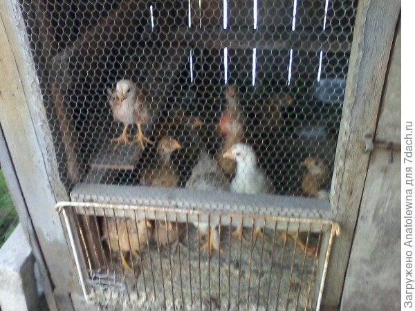 А ещё, завели мы цыплят. Теперь весело - они шумят, пищат, как маленькие детки.