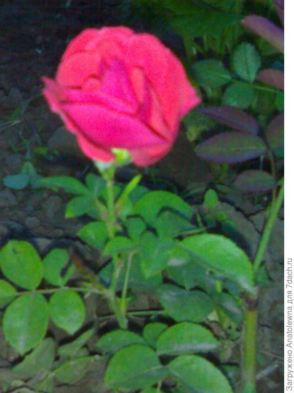 цветущая розочка