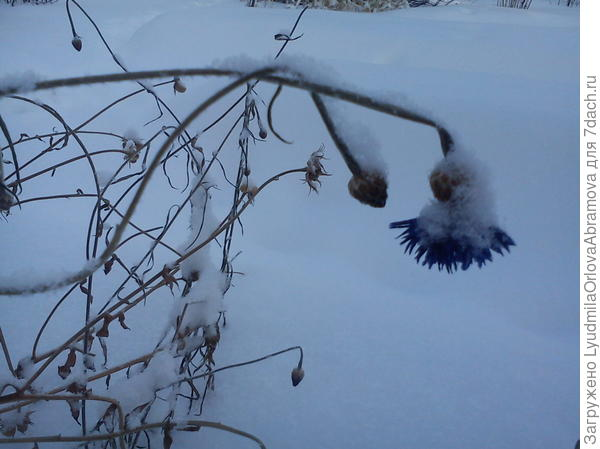 Василек под снегом