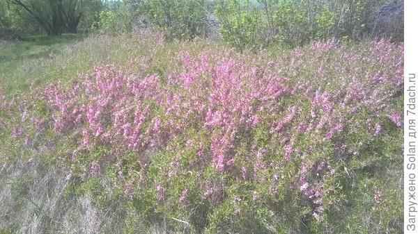 В апреле местами степь становится розовой от зарослей этого кустарника. Он прекрасно переносит пересадку. Очень неприхотлив. По сути, никакого ухода не требует вовсе.