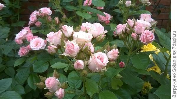 Роза полиантовая что это такое