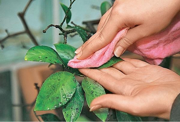 Протрите листья мягкой тканью