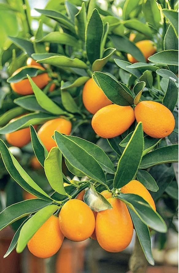 Кумкват (Fortunella margarita)