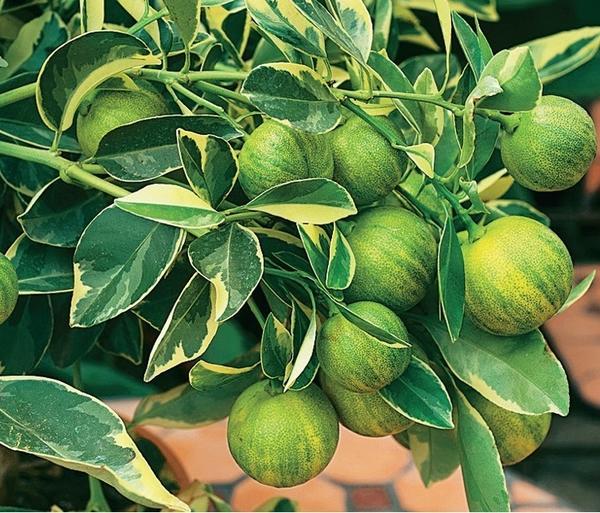 Лимон обыкновенный (Citrus limon) Variegata