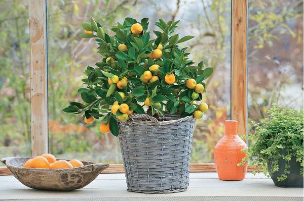 На зиму цитрусовое деревце поставьте у окна с южной стороны дома. Чем прохладнее воздух в помещении (ниже 15°С), тем лучше.