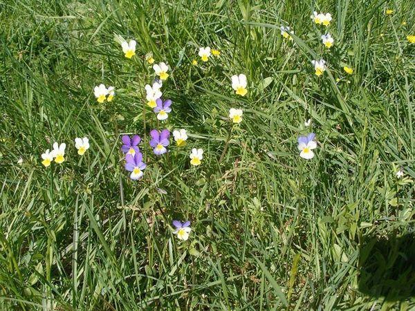 Фиалка трехцветная (Viola tricolor L)