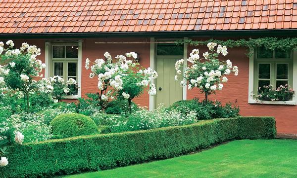 Штамбовые розы Schneewittchen и калимерис надрезанный (Kalimeris incise)