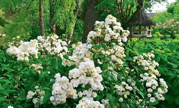 Гибрид розы мускусной 'Waterloo'