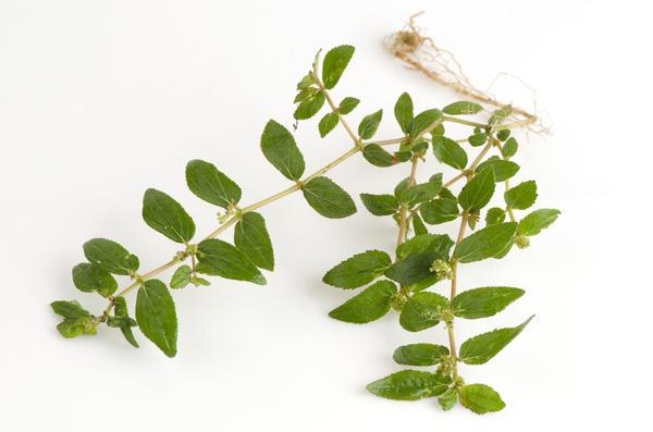 Молочай волосистый (Euphorbia hirta) традиционно используется для лечения  астмы