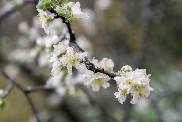 Плодовые деревья во время цветения могут серьезно пострадать от заморозков