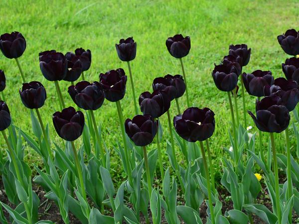 Придать саду экзотики можно с помощью обычных цветов необычной окраски: например, черных тюльпанов