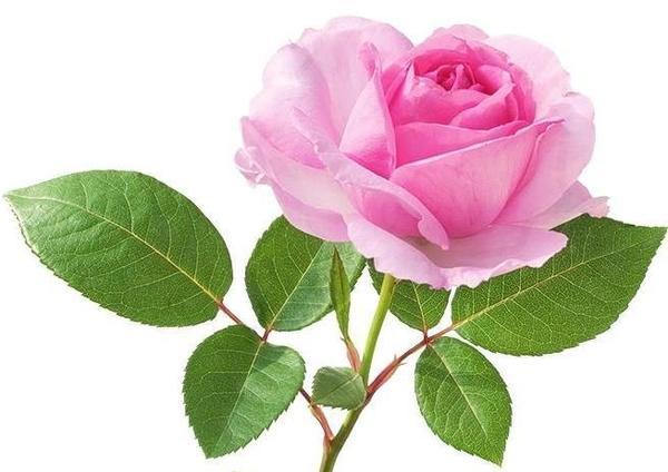 Королева цветов впишется в любую композицию