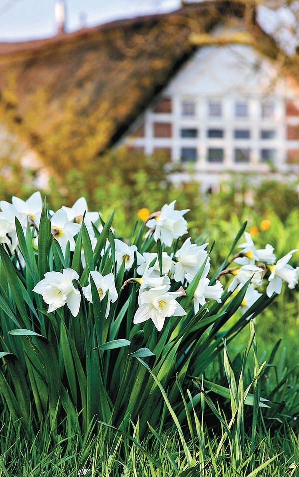 Нарциссы можно выращивать где угодно