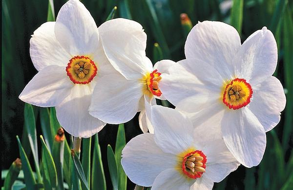 Нарцисс поэтический 'Actaea'