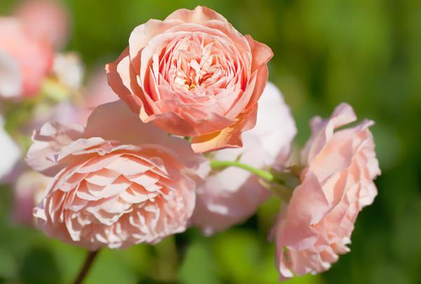 Английские парковые розы (розы Остина), сорт Leander.