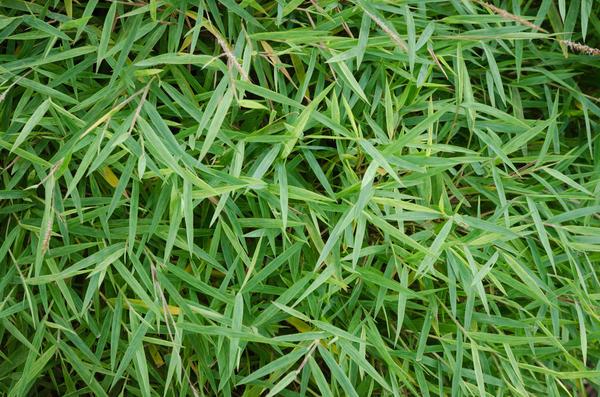Фаргезия блестящая (Sinarundinaria nitida)