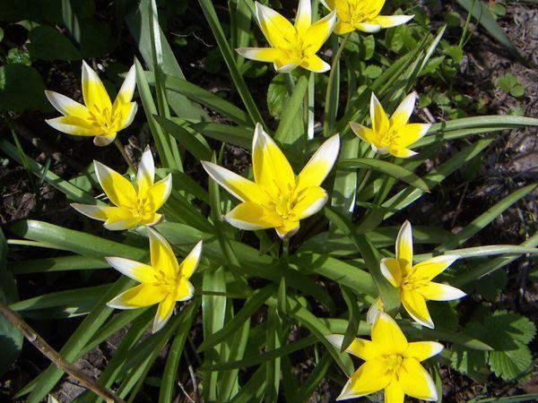 Ботанические тюльпаны. Фото пользователя lukor.