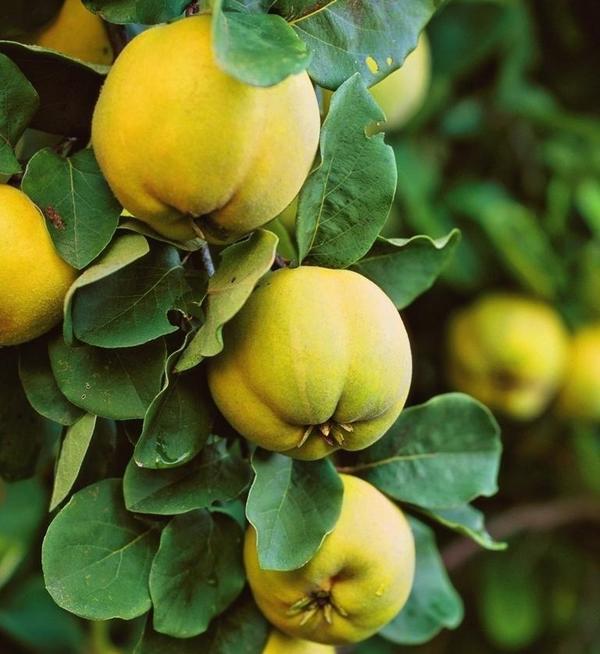 У округлых плодов чаще всего твердая и очень ароматная мякоть