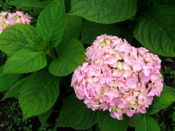 Гортензию крупнолистную лучше посадить весной