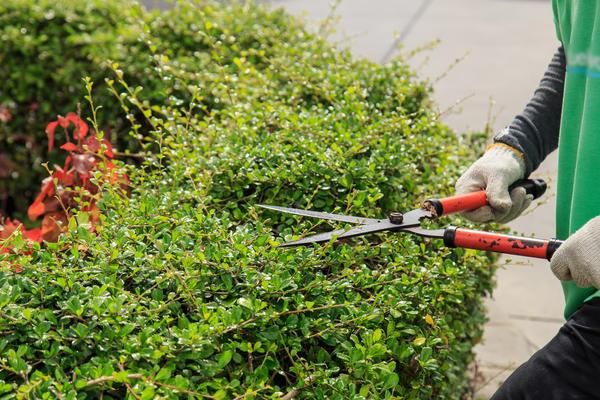 Живые заборы из лиственных пород следует обрезать уже в первый год после посадки.