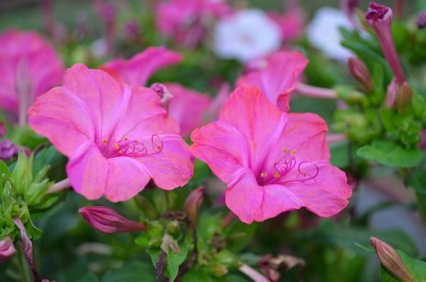 Цветы ночная красавица фото