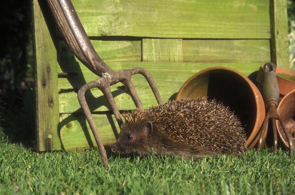 Садовые инструменты могут нанести вред ежам