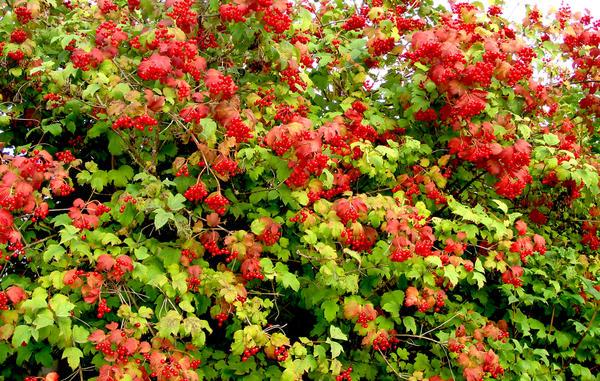Плодоносящие дикорастущие кустарники послужат отличной оградой