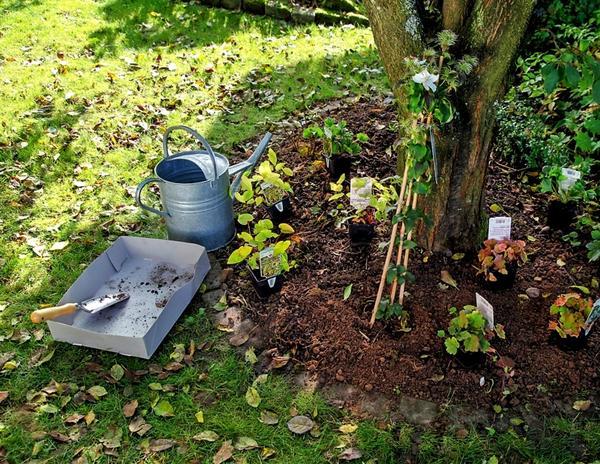 Приствольный круг дерева не самое подходящее место для посадки других растений
